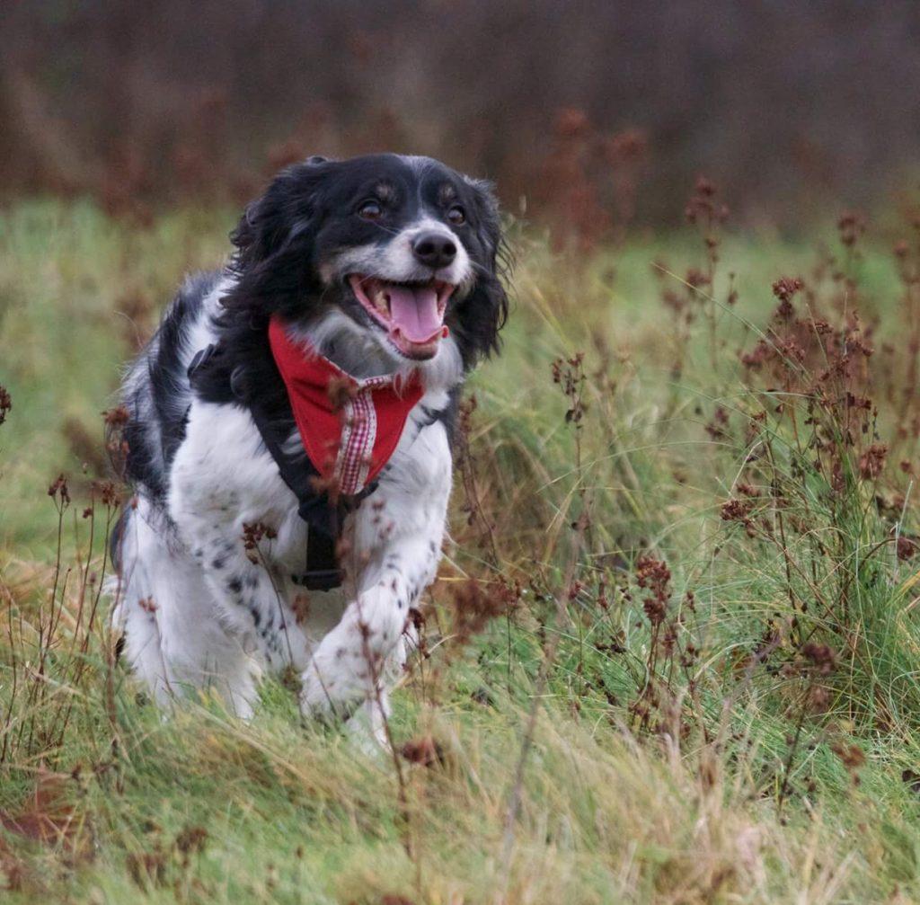 Hundrehab, laserbehandling hund